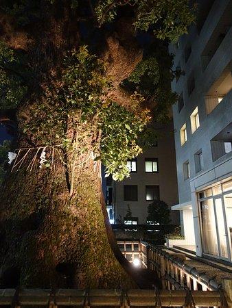 見事な大木です