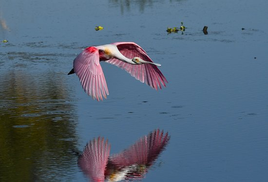 Peaceful Waters Sanctuary: A roseate spoonbill is visiting the park.