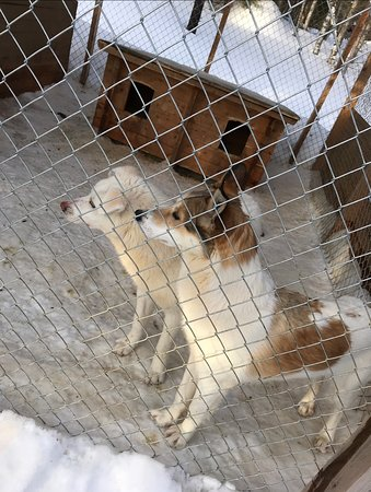 Alaskan & Siberian Huskies