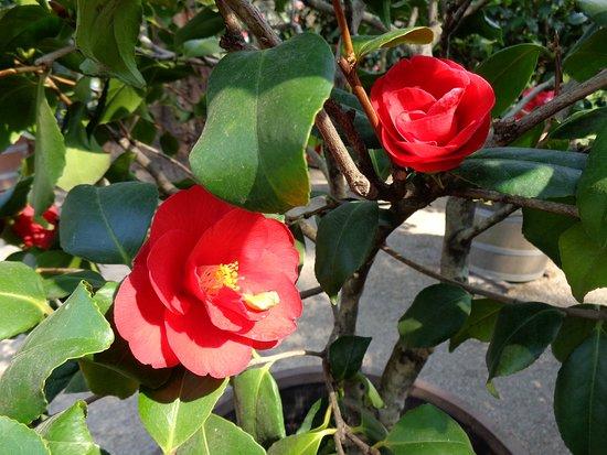 Rozkvetlé kamélie