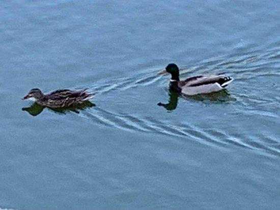 Longstreet Inn Casino & RV Resort: lots of ducks