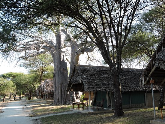 Tarangire Safari Lodge: Tents are interspersed among the trees and far enough apart for privacy and quiet.