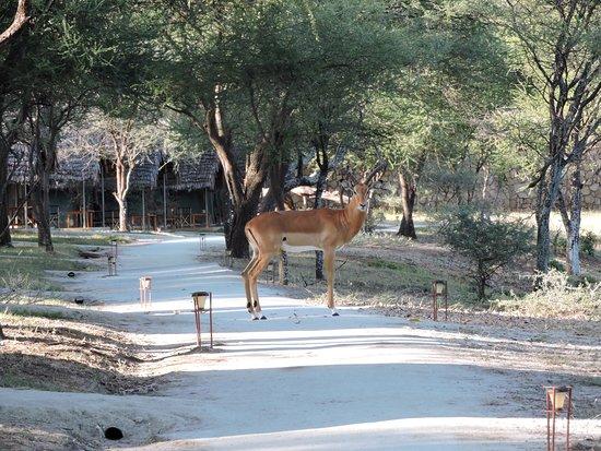 Tarangire Safari Lodge: Wildlife take the path too.