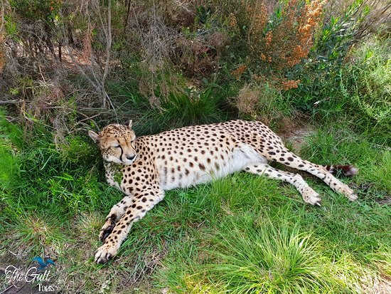 Garden Route, South Africa: Get up Close to cheetahs