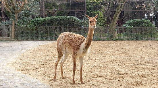 Ménagerie, le zoo du Jardin des Plantes: Vigogne.