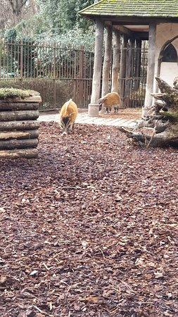 Ménagerie, le zoo du Jardin des Plantes: Potamochère roux.