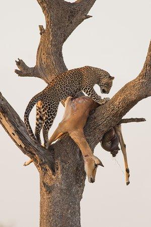 Leopard feeding on a Kill at Masai Mara, Kenya. Features Africa Journeys