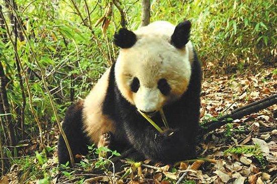 Visite privée d'une journée des panda...