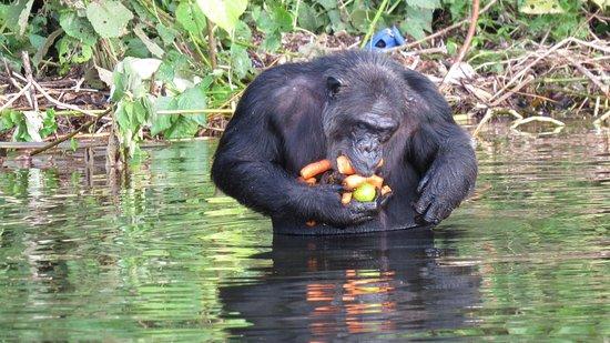 Ngamba Island, Oeganda: chimpanzees of Ngamba sanctuary  ACROSS LAKE VICTORIA IS AN OPENER to primate lovers before trying kibale or kyambura groups.