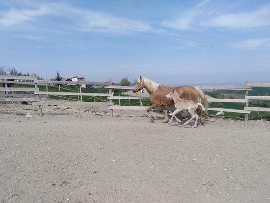 Felino, Włochy: La piccola fattoria, allevamento cavallo haflinger❤️😍