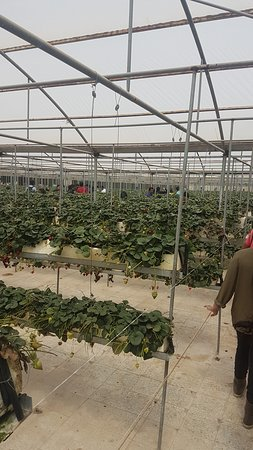 Jahra, Kuwait: Strawberry picking green house
