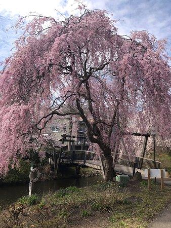 Reston, Virginie: Cherry blossoms over the bridge