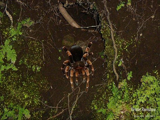 Orange Kneed Tarantula / Monteverde Wild Hikes / Monteverde, Puntarenas, Costa Rica