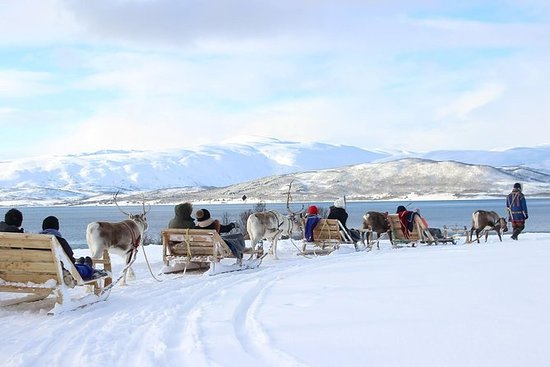 Rentierfütterung, samische Kultur und...