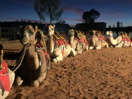 Camels waiting patiently before the ride