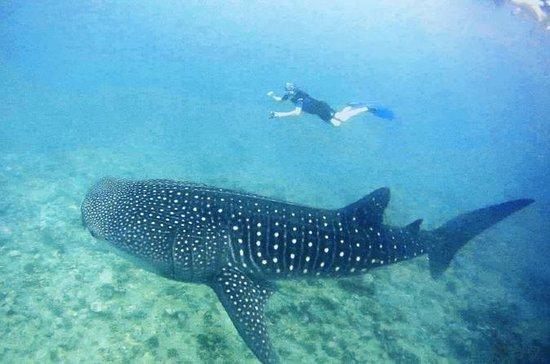 Whale Shark Snorkeling Package - excursion d'une...