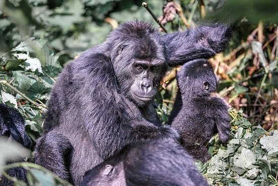 14-dagers Gorilla Encounter Plassert...