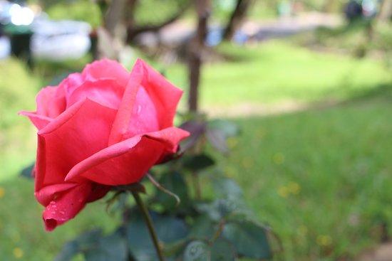 Leura, Australia: A beautiful rose near the front door