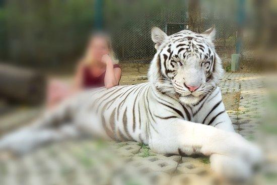 Tiger Kingdom - Chiang Mai – fotografia