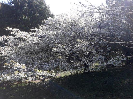 Fast Rabbit Farm Gardens: Cherry Tai Haku April