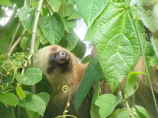 Costa Rican Vacations: 2-toed sloth seen on Sloth Tour, La Fortuna