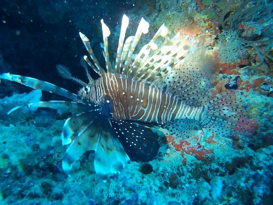 Zuidelijke Malé-atol: Рыба-лев (львиная скорпена)