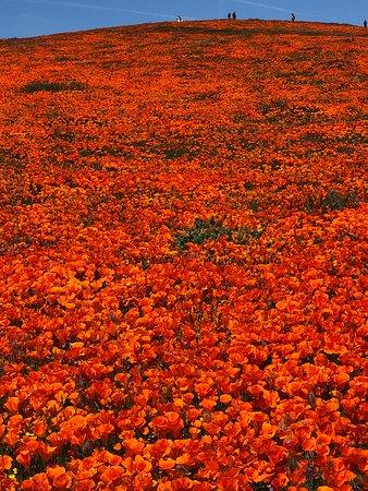 Field full of poppies
