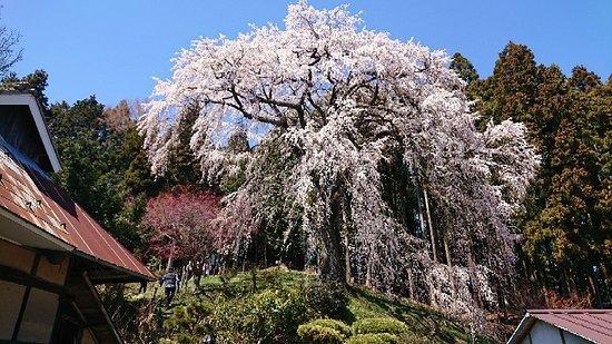 Uchide Cherry Blossom