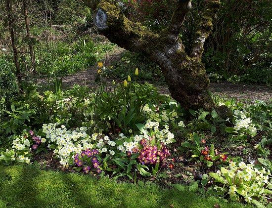 The Close - Bed & Breakfast: Primulas in spring 2019