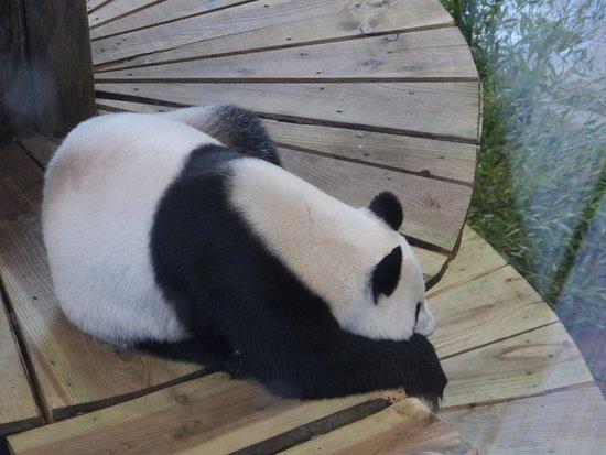 Ouwehands Zoo Rhenen: een panda