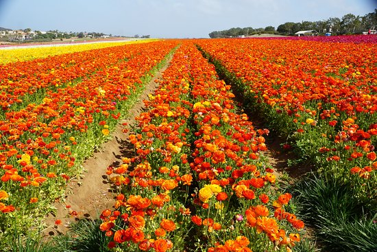 ‪The Flower Fields at Carlsbad Ranch‬
