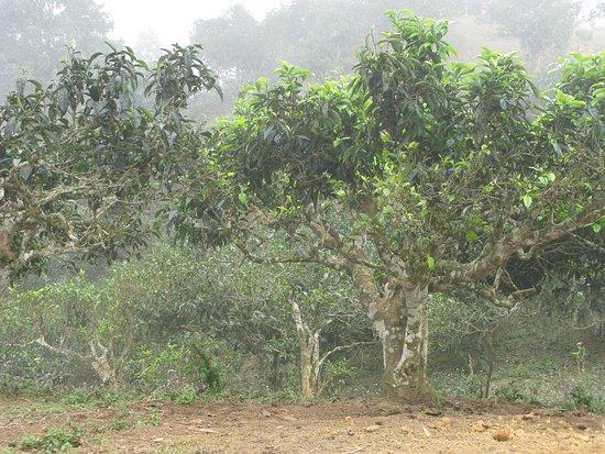 Yen Bai Province, Vietnam: Đồi chè cổ thụ suối Giàng