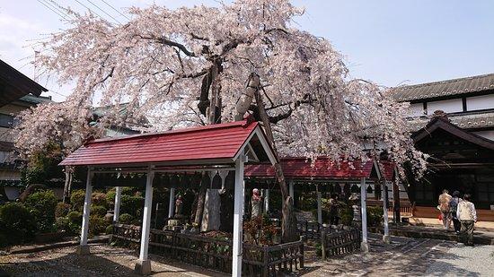 Torin-ji Temple: 境内の桜が満開