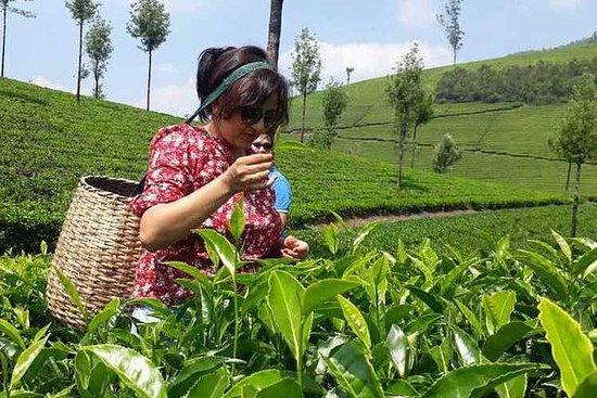 Sentier du thé de Munnar