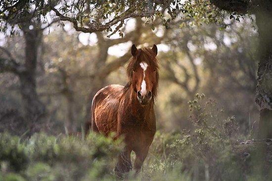 I cavalli selvaggi della Giara e il