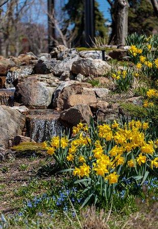 Lincoln Park: Daffodils
