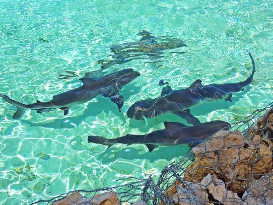 Aventura de lancha em Exuma: Sharks at Ship Channel Cay