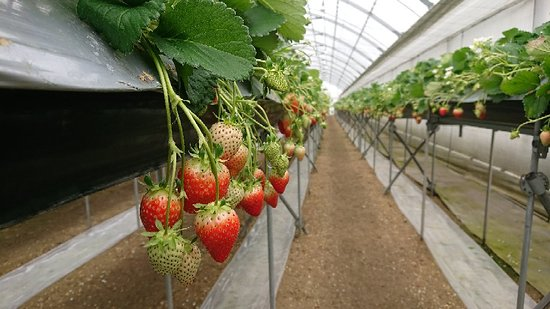 Nanaku Strawberry Farm