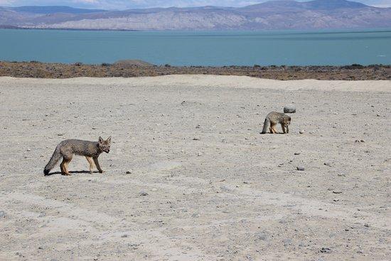 Провинция Санта-Крус, Аргентина: Mirador Lago Viedma - Foxes