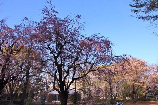 立川市, 東京都, 諏訪の森公園の桜