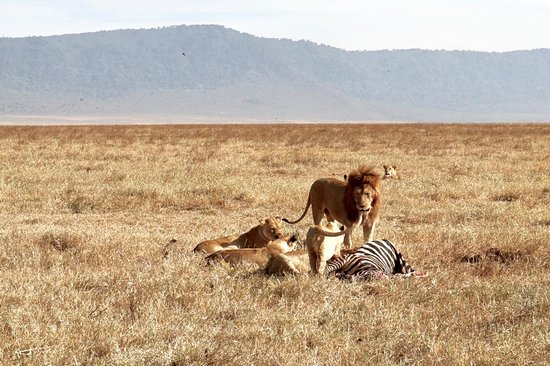 Ngorongoro Conservation Area, Tanzânia: A pride of three lions feasting on a wildebeast kill in Ngorongoro Crater!