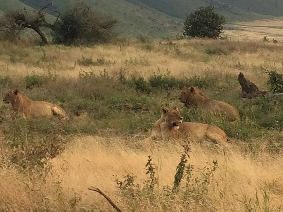 Ngorongoro Conservation Area, Tanzânia: A pride of lions seen in Ngorongoro Crater!