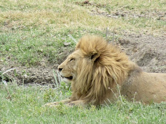 Ngorongoro Conservation Area, Tanzânia: A male lion gazes in the distance at Ngorongoro Crater!
