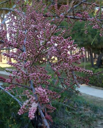 Abruzzen, Italien: Cartoline dall' ABRUZZO : primavera. Nuvole rosacee di turgide spighe di tamerici colorano il paesaggio costiero primaverile.