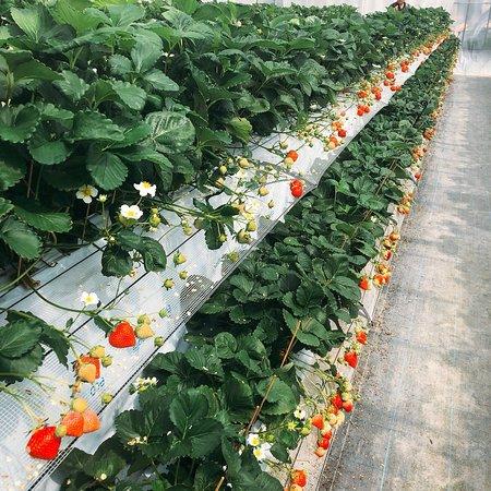 Koshigaya Strawberry Suga Farm
