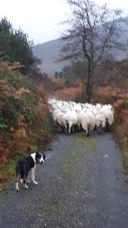 ‪‪West Kerry Sheep Dog Demonstrations‬: Heading for the mountains‬
