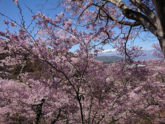 桜が満開の高遠城址公園
