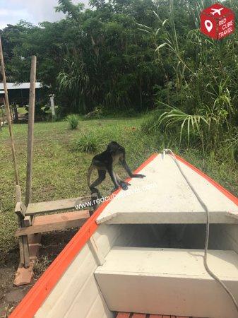 Monkey Island: Ein Spinnenaffe auf der Affeninsel.   A spider monkey at Monkey Island.
