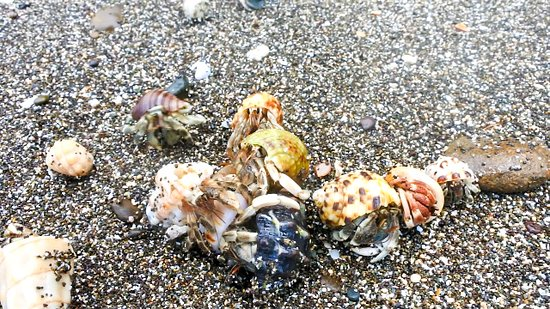 Malekula Island, วานูอาตู: Cluster of different coloured hermit crabs gathered together on the black sand beaches of Malekula