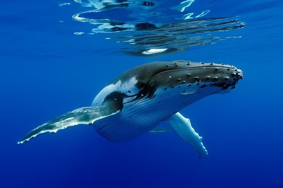 Avistamiento de ballenas Bora Bora